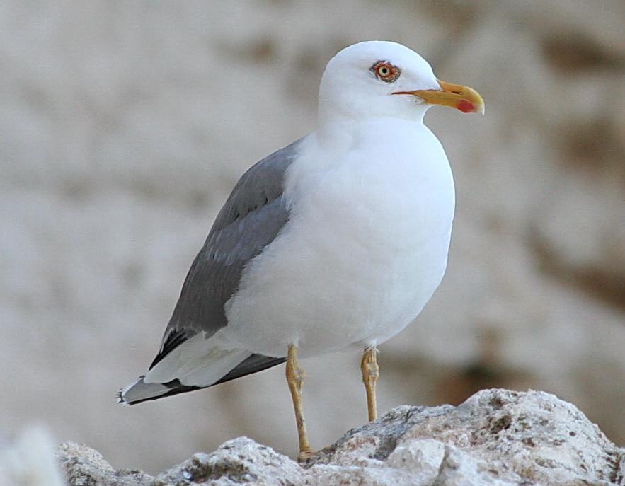 картинки птицы севера подобных