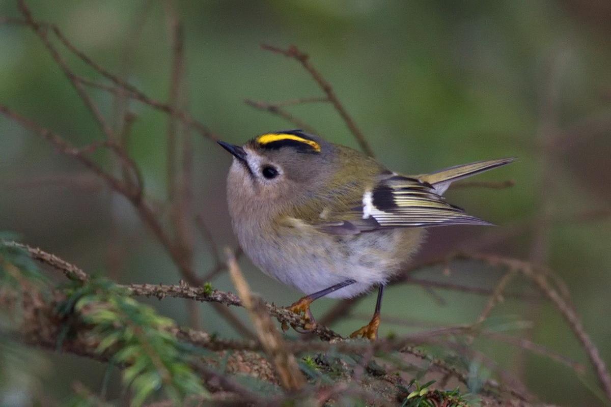 запросу фото птицы королек крупным планом самое главное