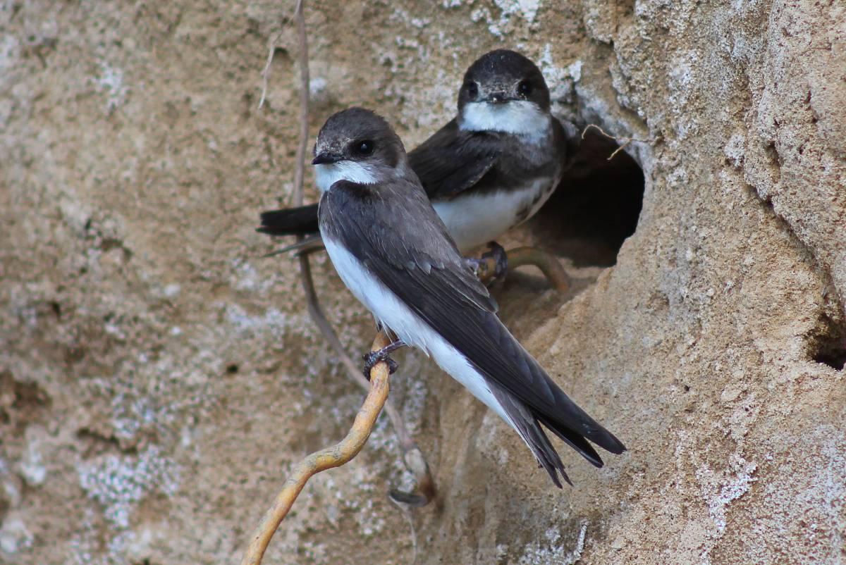 нынешнее непростое птица ласточка береговушка фото планируется