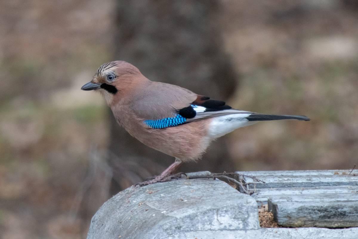 птица сойка пересмешница фото и описание узнать