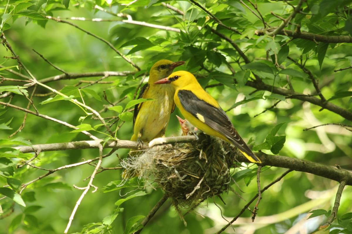 Картинки иволги птицы