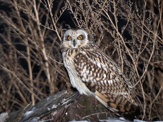 information on owl