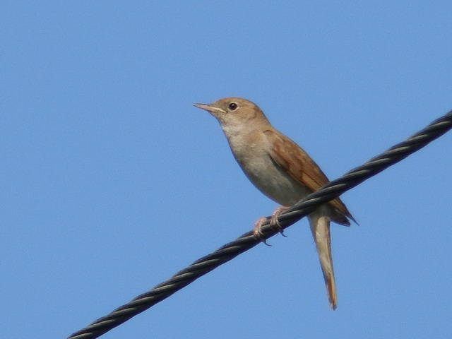 Common Nightingale (Luscinia megarhynchos), video  Birds of